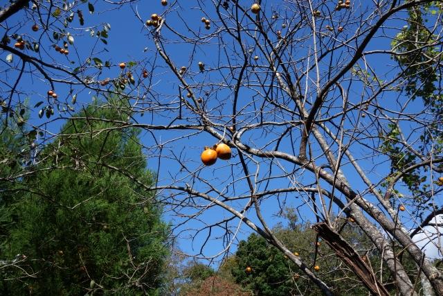 柿の病気リスト:枝のトラブル