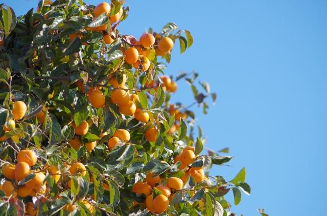 柿が病気?柿の木が折れる、落葉する、実に異変が……正しい対処とは