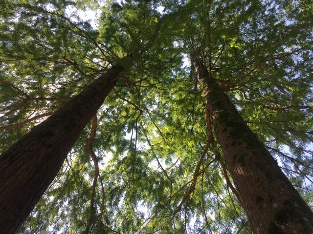 杉を伐採するならいつ?ベストな時期と伐採方法、必要な費用まで紹介