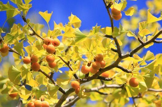 銀杏の木の伐採する|大きく育ったイチョウの木はプロにおまかせを!