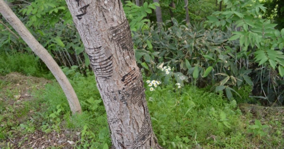 かぶれ 木 ハゼ の