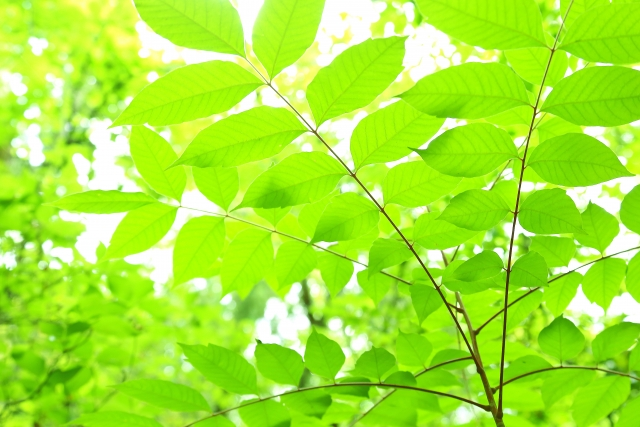 漆の木の特徴