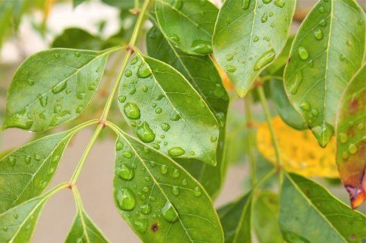 シマトネリコが病気を発症|葉が落ちる理由とは?元気に育てるコツ