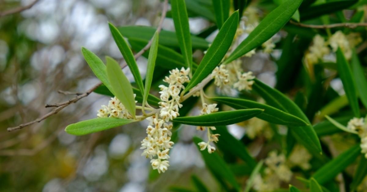 オリーブアナアキゾウムシ オリーブの花