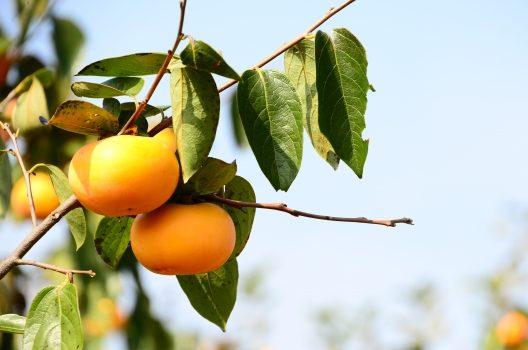 柿の木の病気【葉の病気と対処法】