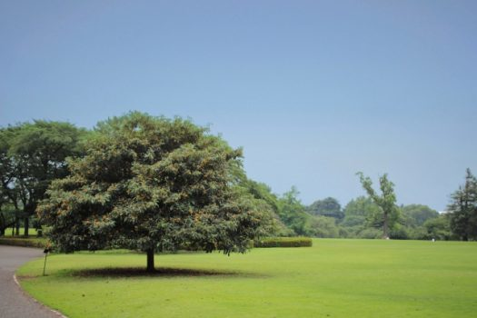 大きすぎるびわの木の伐採は危険!自分でできる基準