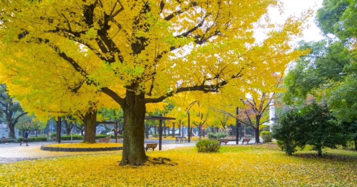 銀杏の木の伐採