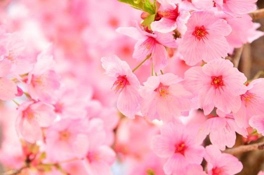 桜を伐採したほうがよいケース