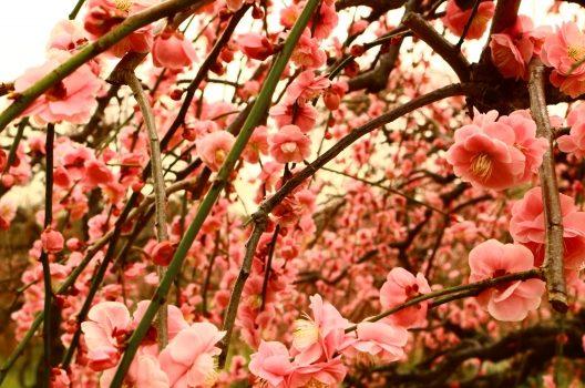 しだれ梅の育て方ガイド|大きく華やかなピンク色の滝に!剪定の注意