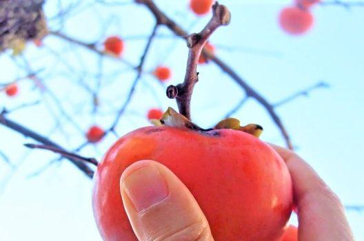 柿の木の病気は予防が大切!正しい対処法とお手入れの秘訣とは