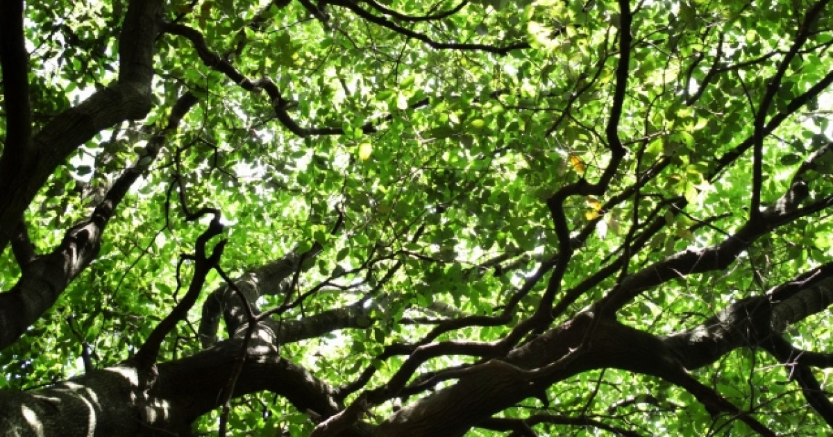 人気の庭木 アラカシ