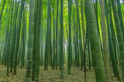 竹の生態・特徴
