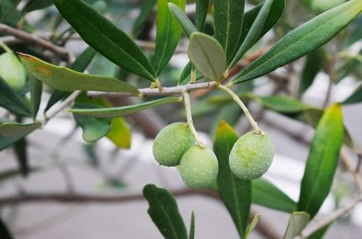 オリーブを無農薬で育てる方法はある