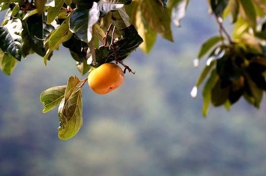 柿の木は落葉樹!