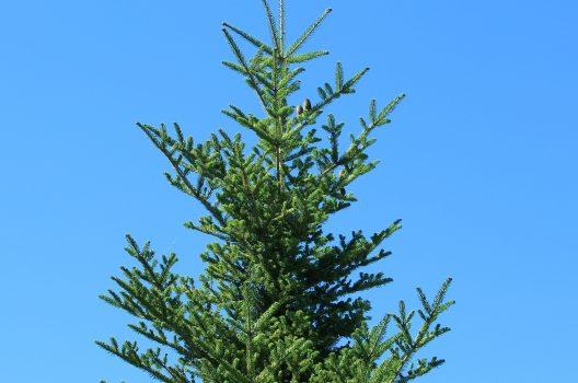 もみの木が大きいほど費用は高くなる
