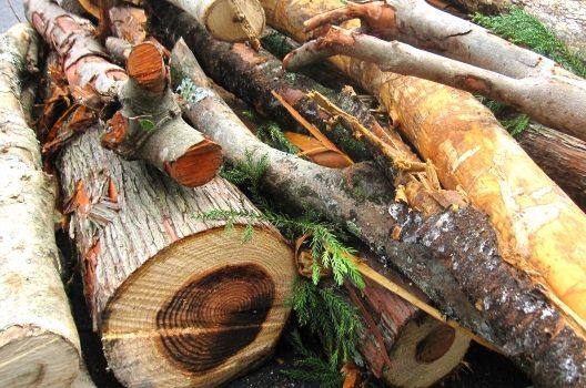 大木の伐採は危険!とはいえ伸び放題で放置するのも危険…